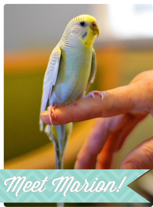 Marion-the-budgie