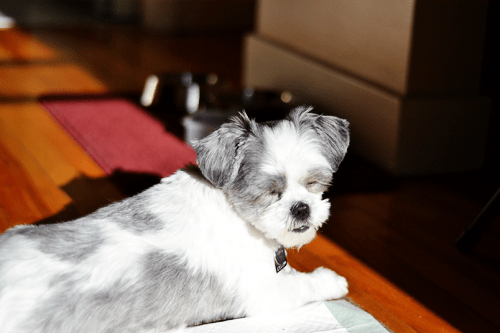 Sadie-Shih-Tzu-in-a-sunbeam