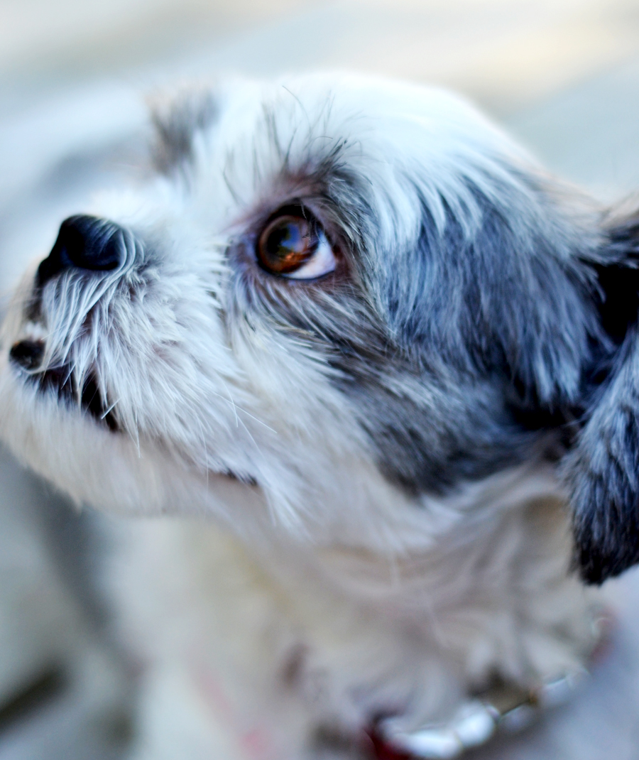 Sadie-Shih-Tzu-dog-blog