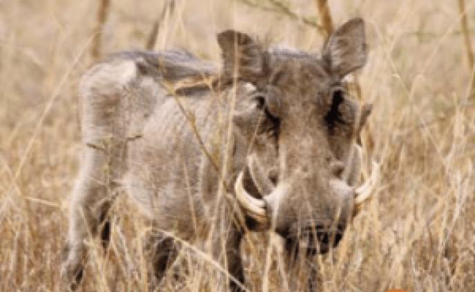 Hippopotamuses - saevus willdife blog