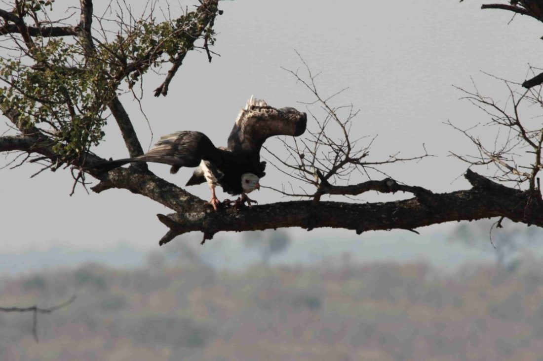 White-headed vulture Trigonoceps occipitalis (photo: Monto)