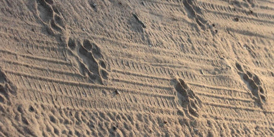 Pug marks on tyre tracks (African Lion Panthera Leo)