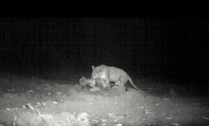 Leopard feeding on dog carcass