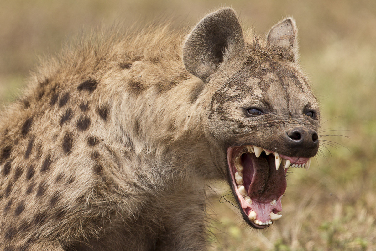 Nature's Laughter Riot: The Spotted Hyena