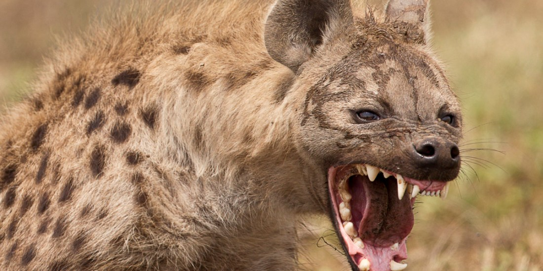 World Laughter Day_ Hyena1
