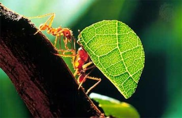 Saevus leaf-cutter-300x196 Labour Love: An ant's world Day's Special  weaver ants pagoda nest Love of Labour leaf cutter labour job harvester nest army ants