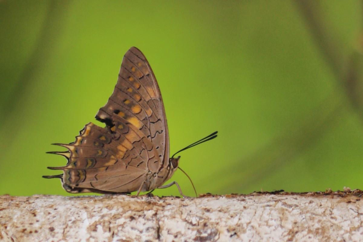 Black Rajah Butterfly