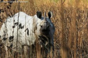 Saevus Picture-6-Indian-One-horned-rhinoceros Kaziranga - The Land of the Rhino Exploration  rhinoceros Kaziranga india Assam Asiatic Elephant 'seven sister states