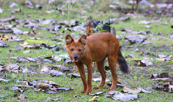 Saevus Usuri-Dhole Nagarhole - Its not just only about big Cat's Exploration  Wildlife Photography wildlife Tiger Reserve tiger Safari Project Tiger Nagarhole leopard Kabini Jungle Safari Jungle Game Drive Forest Black Panther Bandipur Asiatic Elephant