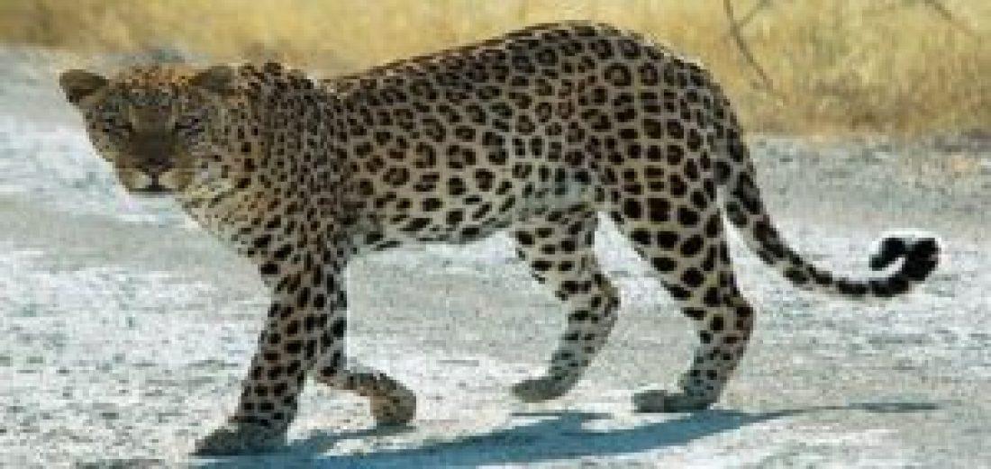 Leopard at Dachigam National Park, Jammu and Kashmir