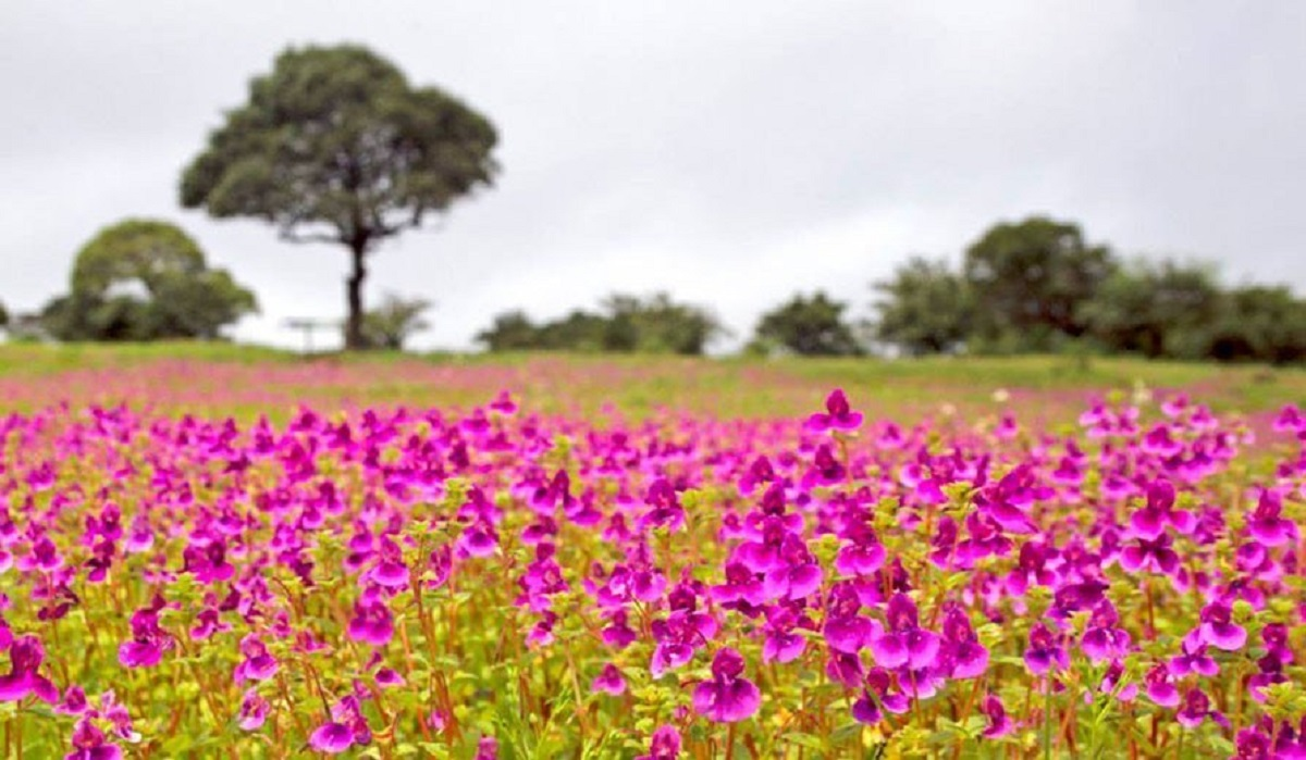 Valley of Flower_Kaas Plateau_SAEVUS_Rhucha