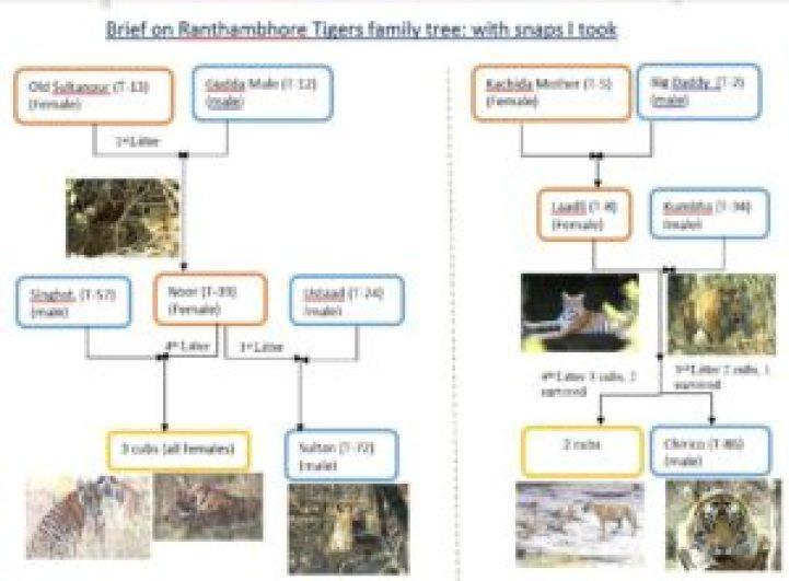 Rantahmbore Tiger Family Tree-By Rohan Arora
