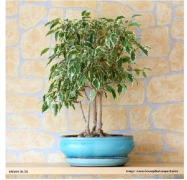 Ficus-weeping fig_SAEVUS