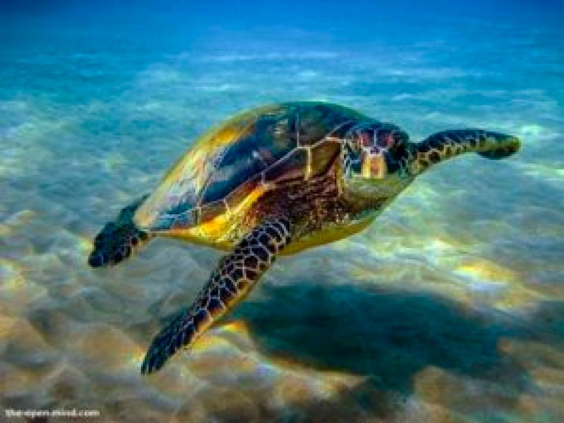 Green turtles are able to migrate about 1400 miles to lay their eggs!