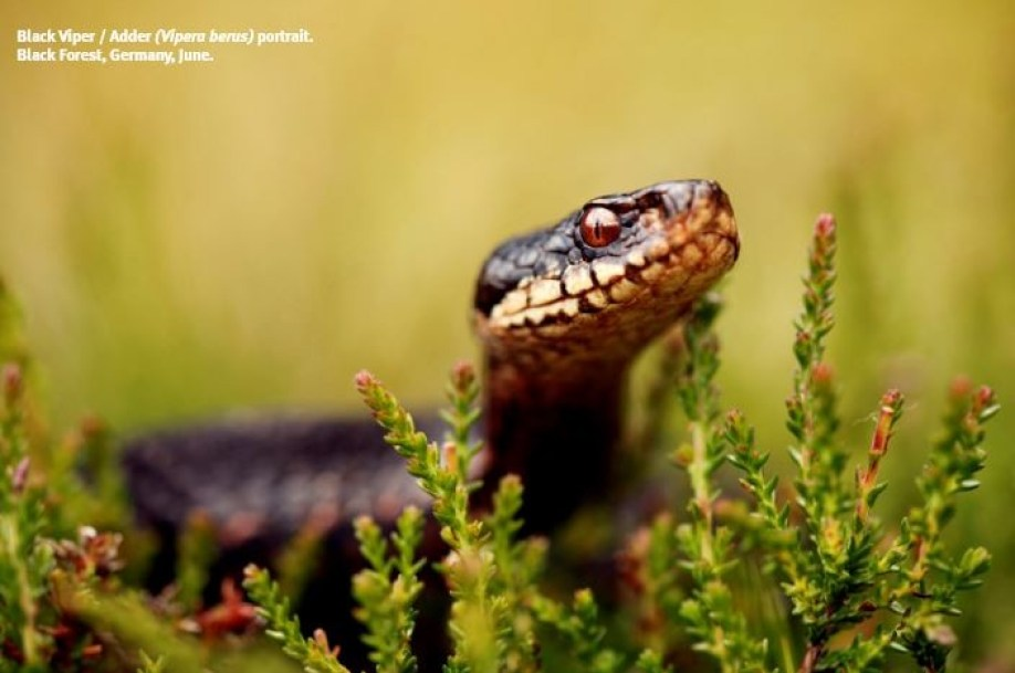 Saevus Black-Viper-or-Adder-Vipera-berus-potrait.-Black-Forest-Germany-300x199 Chronicles of the Black Forest Tete - A - Tete World  Klaus Echle Black Forest
