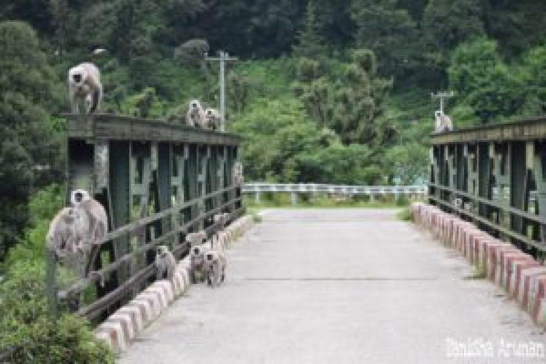 Langurs crossing the bridge (Photo by : Tanisha Arunan)