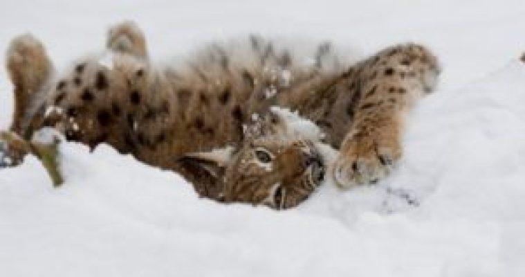 Lynx (Lynx lynx) having a snow bath. Black Forest, Germany