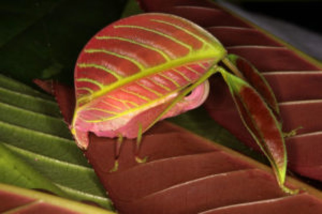 Pink Leaf Insect | Photo: Natgeo