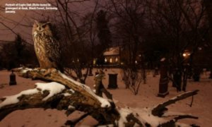 Portrait of Eagle Owl (Bubo bubo) in graveyard at dusk. Black Forest, Germany