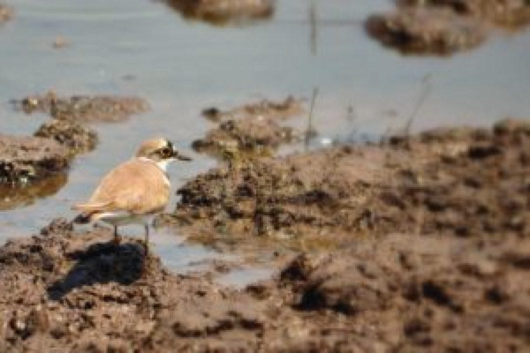 Bird's eye view_Little Ringed Plover_SAEVUS,Bhigwan