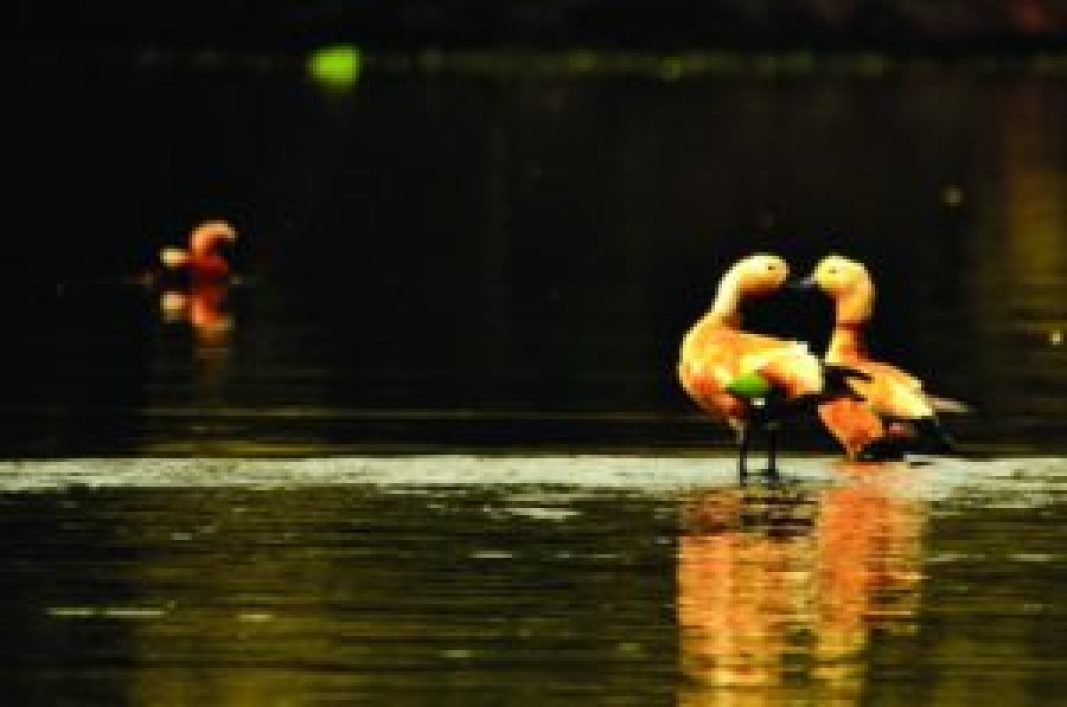 Ruddy Shelducks (Tadorna ferruginea) are usually seen in pairs. Males can be differentiated from females by the presence of a black ring around the neck. Since these ducks also remain in pairs through the non-breeding season (winters), it is assumed that some pairs may mate for life, Bhigwan