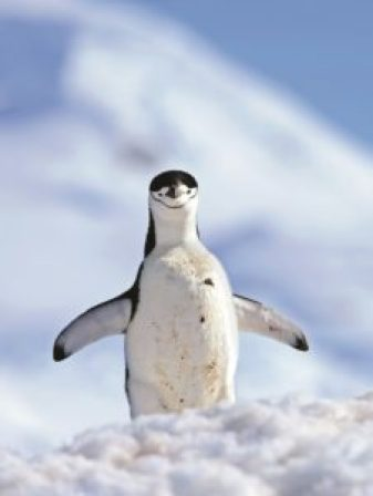 Chinstrap penguins, The Final Frontier, Antartica, SAEVUS