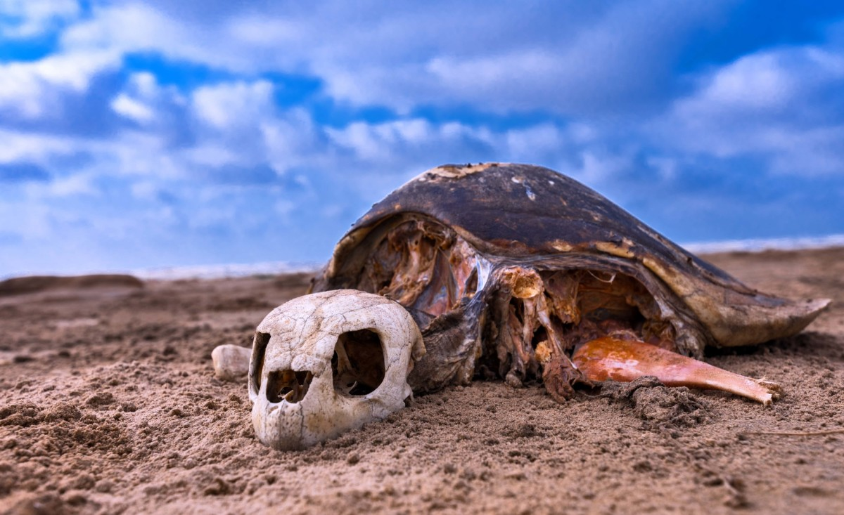 A Skeleton of Olive Ridley Sea Turtles (Lepidochelysolivacae) at Mondarmoni beach in West Bengal