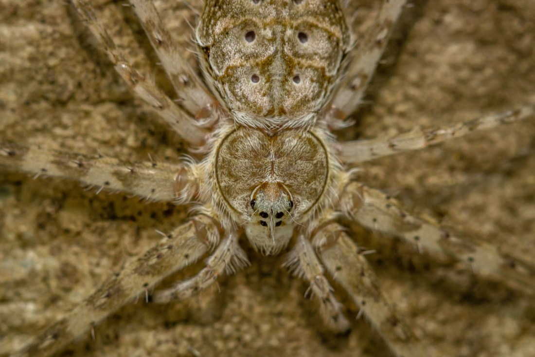 Saevus Two-tailed-spider-close-up Camouflage - The Art of survival in the wilderness Exploration The Animal Kingdom Wild Encounters  Spiders camouflage Bark mantise