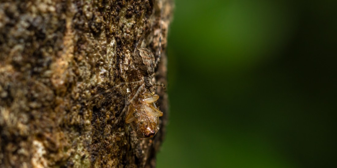 Using its camouflage, two-tailed spiders prey on insects and other invertebrates crawling on barks of trees.