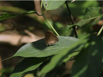 Saevus annual-butterfly-survey Two new butterfly species spotted at Aralam News  butterfly
