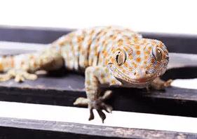 Astronomically high value illegal Lizard trade has taken deeper root