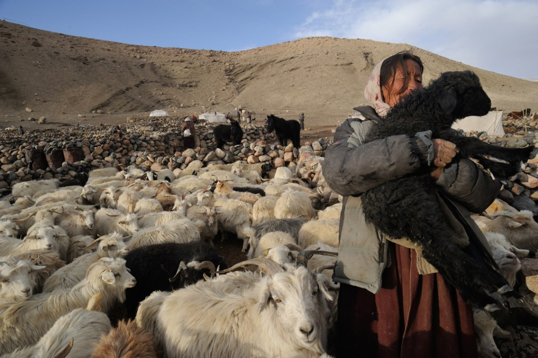 Dicky Dolma feels in her eighth heaven when she tends to her herd. The Changpas value their sheep the most in all senses, and a settlement with about 20 robus may possess more than 1000 sheep. Hair cut from the upper abdomen of this special breed of sheep is Pashmina Wool and it is always in high demand.