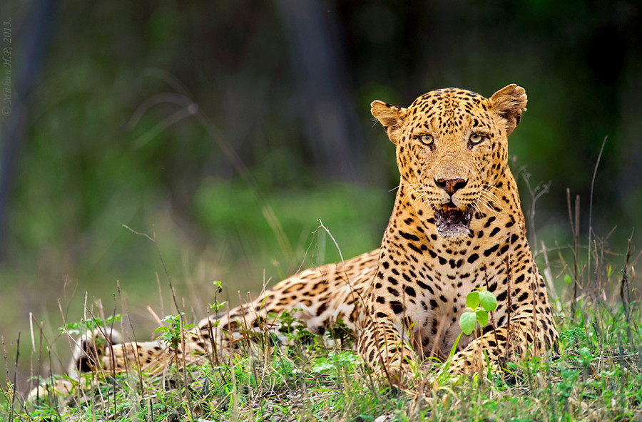 3rd leopard found dead in 9 days