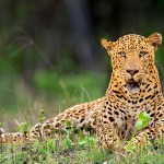 Saevus DSC2836fb1 3rd leopard found dead in 9 days News  Poaching leopard