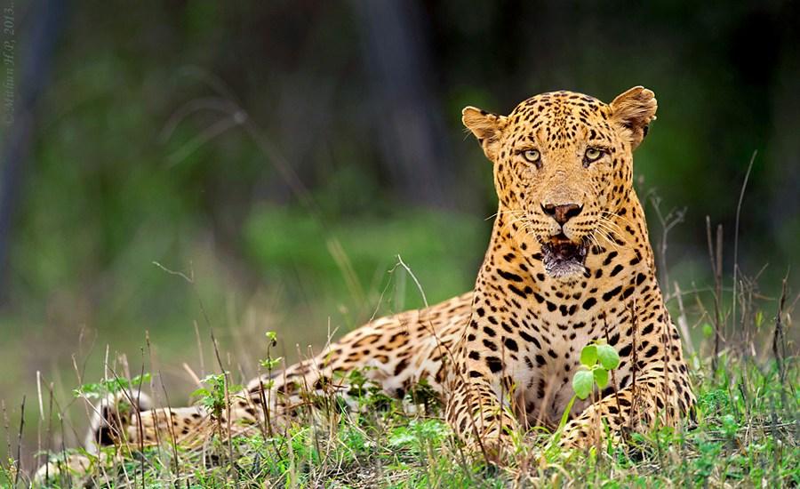 3rd leopard found dead in 9 days