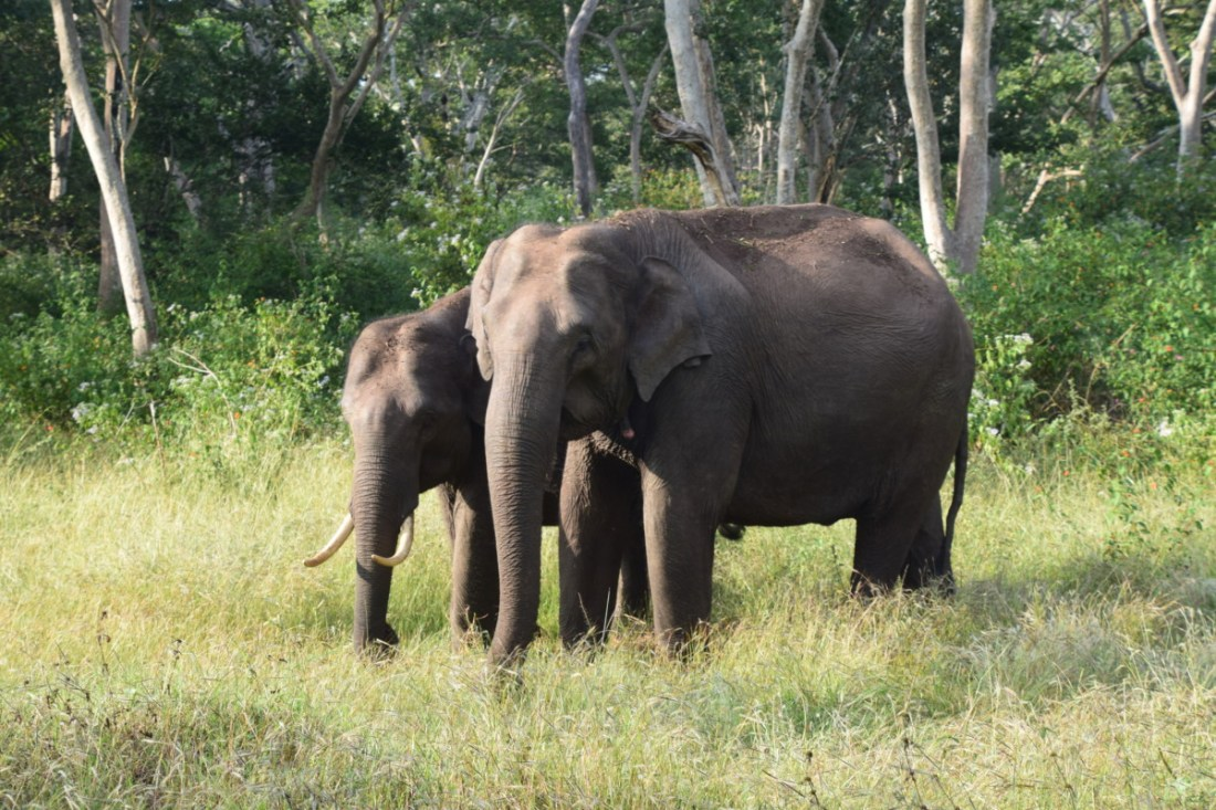Elephants feeding in Mudumalai forest