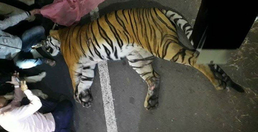 road accident tiger