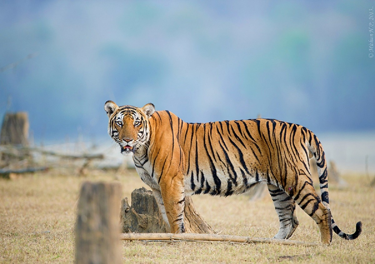 The Pride of India: Our Striped Stalwarts