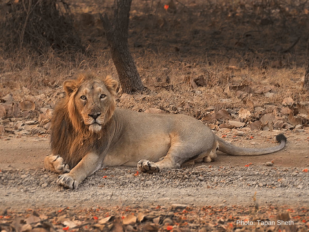 India's endangered lion population increases to 600