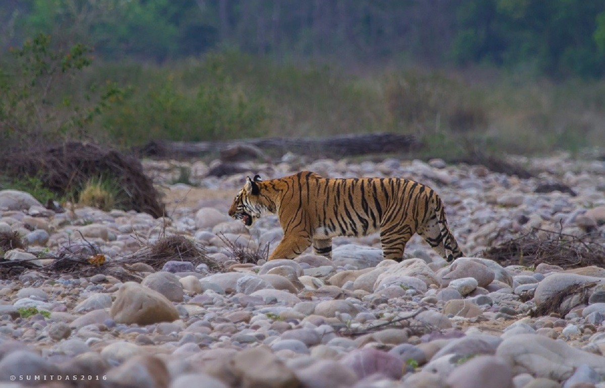 Saevus Tiger-101-1 Intriguing ways of nurturing in nature Exploration  tiger Jim Corbett National Park