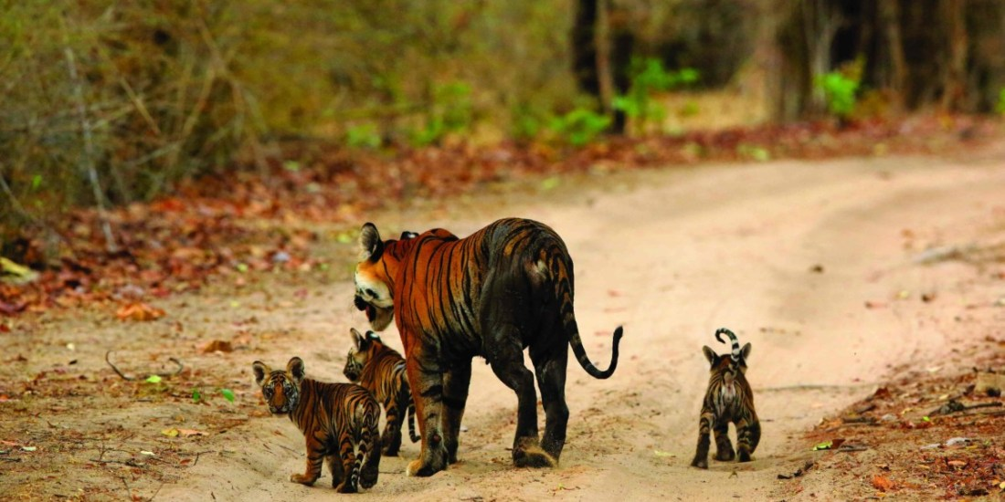 One of the last photographic records of Vijaya and her cubs from the second litter, shot just before the park closed for the monsoon of 2014.