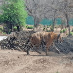Saevus Capture Rajasthan's Mukundara forest gets a tiger after decades News  tiger RT-91
