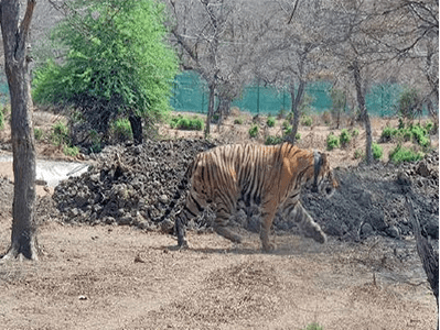 Rajasthan's Mukundara forest gets a tiger after decades