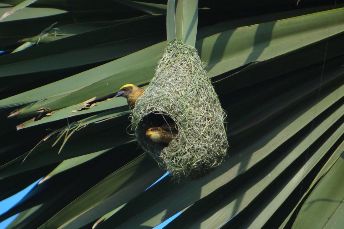 Nest of Baya weaver-SAEVUS