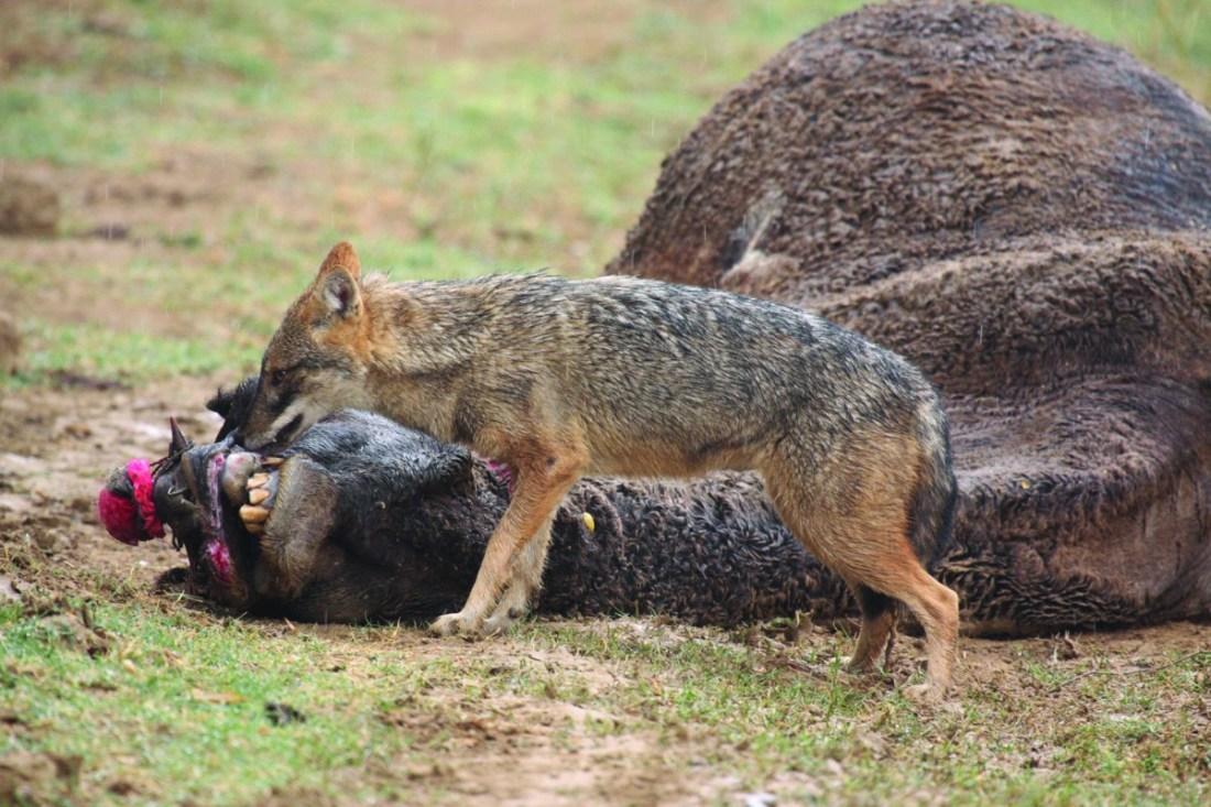 A jackal (Canis aureus) scavenges a domestic camel carcass_Ravine_SAevus