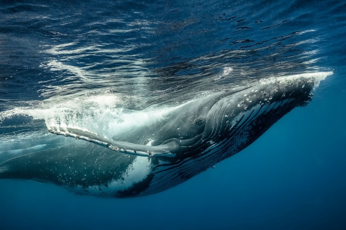 Humback whale - Saevus-Predatory Tactics