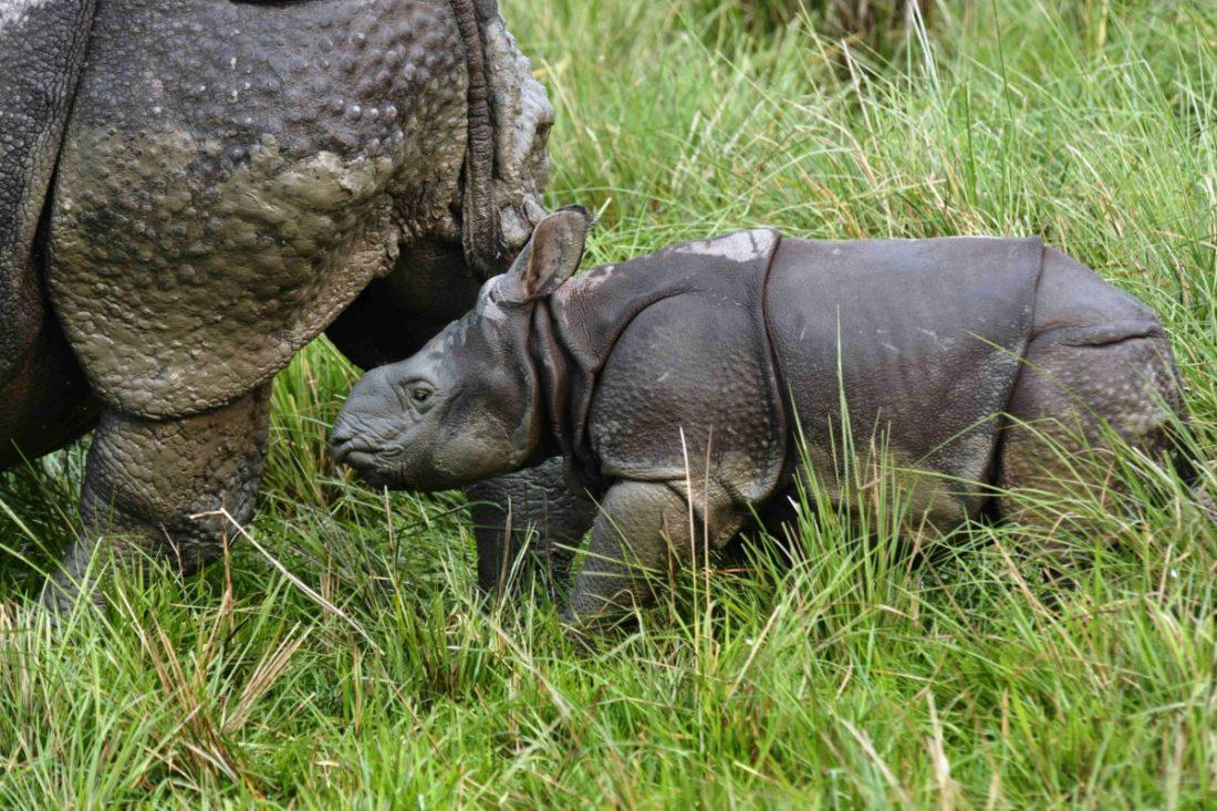 rhino mother with a newly born calf-Travel-Kaziranga-Saevus