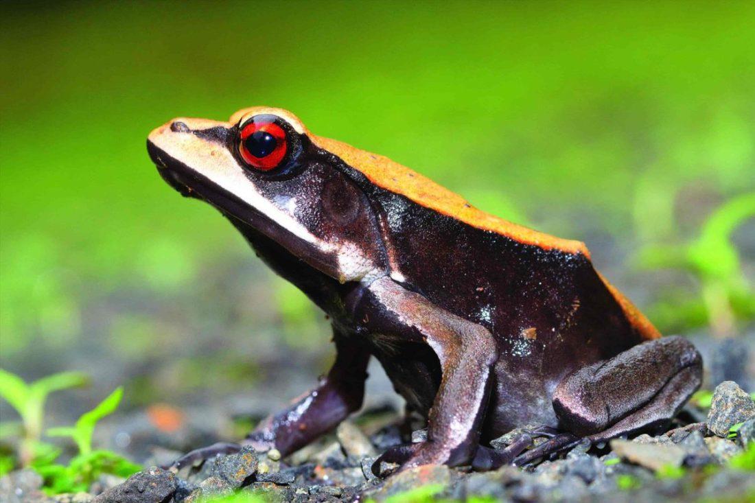 Bicoloured Frog -Amboli -SAEVUS