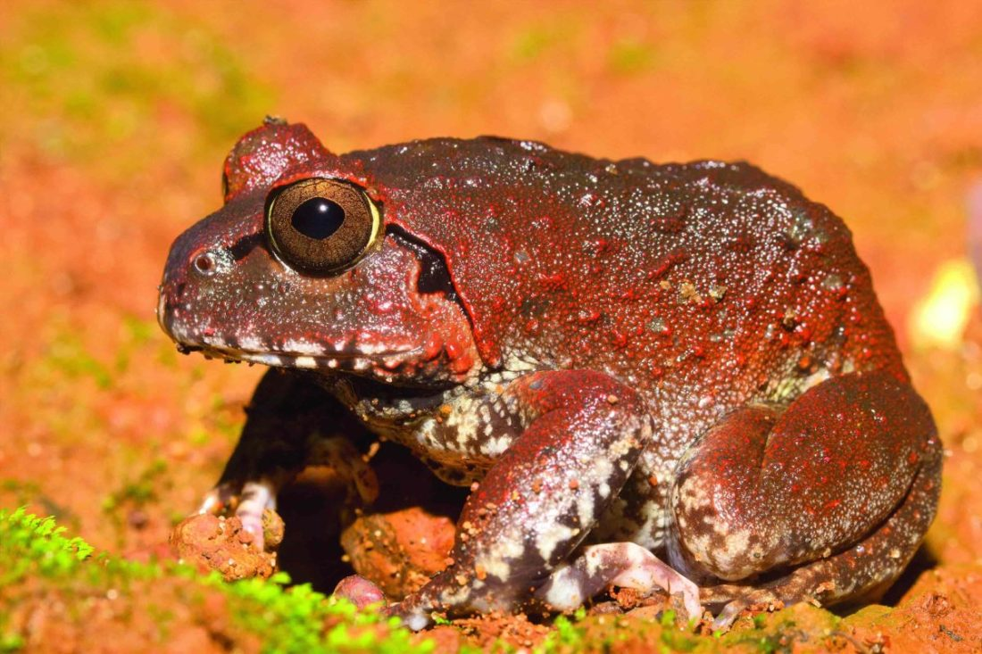 Dobson's Burrowing Frog