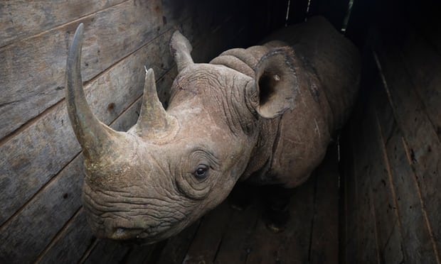 Lions attack sole rhino survivor of bungled Kenyan park relocation